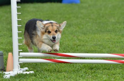 Mehrwert Agility: Alle Hunde profitieren, auch kleine Rassen
