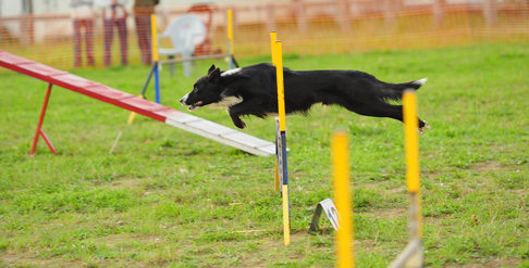 Agility: Border Collie im Sprung