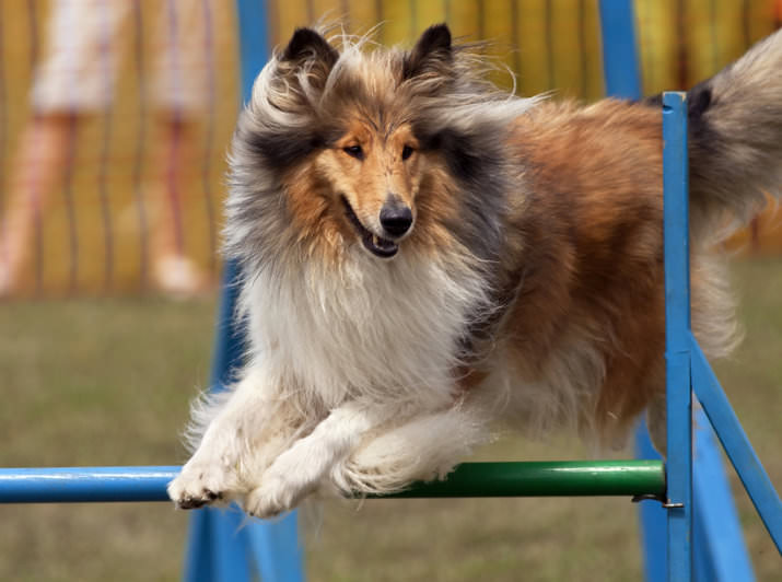 Crufts 2014: Collie beim Agility