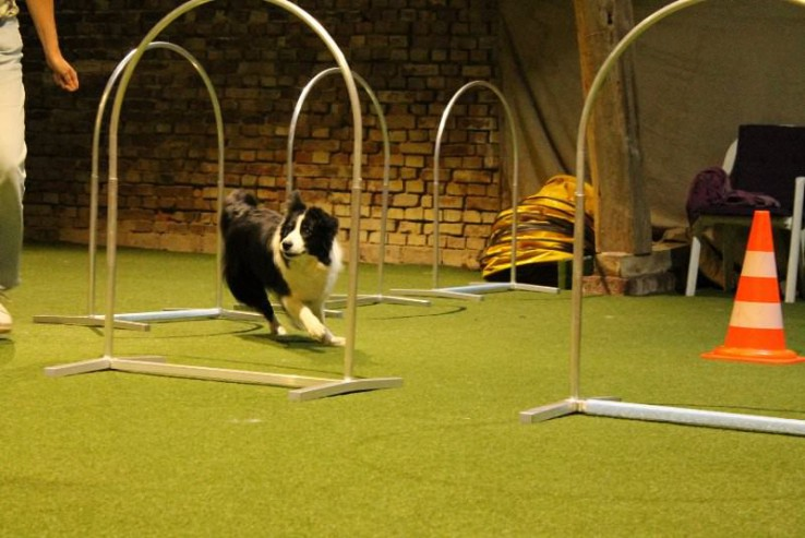 Border Collie beim Hoopers